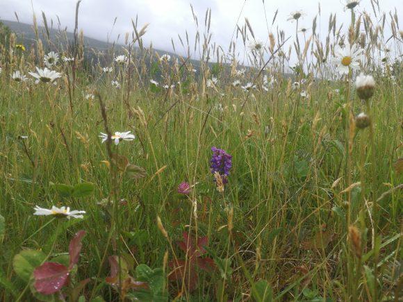 Skjøtsel i kulturlandskap og bevaring av blomstereng