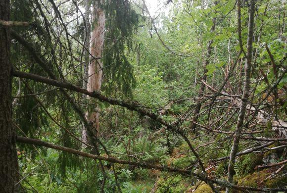 Truede arter og gammelskog