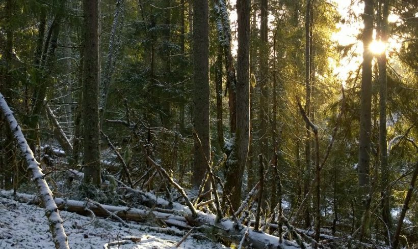 Monark redder skog fra flatehogst i Ski