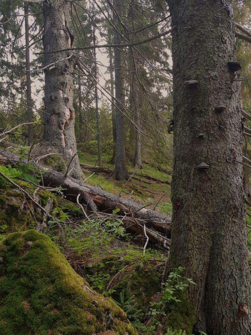 Skog redder oss fra klimaendringer